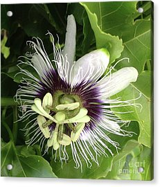 Passion Of A Flower Acrylic Print by Karen Moren