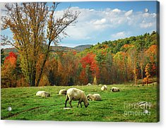 Pasture - New England Fall Landscape Sheep Acrylic Print by Jon Holiday