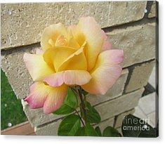 Peace Rose Acrylic Print by Joyce Woodhouse