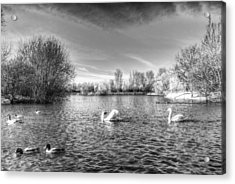 Peaceful Swan Lake Acrylic Print by David Pyatt