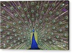 Peacock Display Acrylic Print by Tim Gainey