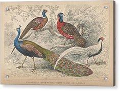 Peacocks Acrylic Print by Oliver Goldsmith