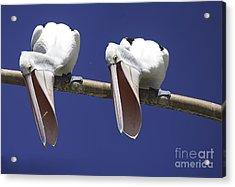 Pelican Burp Acrylic Print by Avalon Fine Art Photography