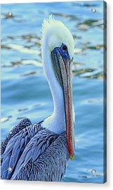 Pelican Pose Acrylic Print by Shoal Hollingsworth