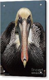 Pelican Stare Acrylic Print by Deborah Benoit