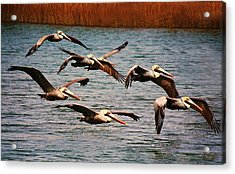 Pelicans Flying Through The Marsh Acrylic Print by Paulette Thomas