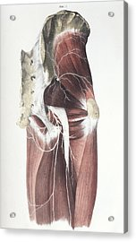 Pelvic Spinal Nerves Acrylic Print by Sheila Terry