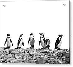 Penguins Acrylic Print by Delphimages Photo Creations