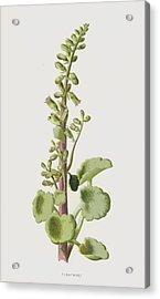 Pennywort Acrylic Print by Frederick Edward Hulme