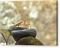 Pensive Mantis Acrylic Print by Douglas Barnett
