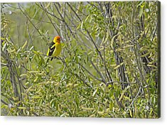 Perching Tanager Acrylic Print by Dennis Hammer