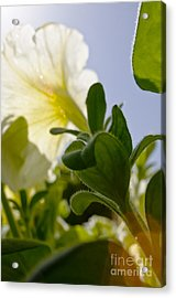 Petunia And Sunflare Acrylic Print by Ray Laskowitz - Printscapes