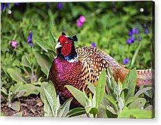 Pheasant Acrylic Print by Martin Newman