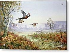 Pheasants In Flight  Acrylic Print by Carl Donner