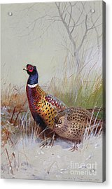 Pheasants In The Snow Acrylic Print by Archibald Thorburn