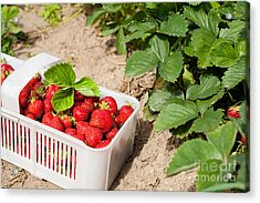 Picked Ripe Strawberries Bunch Acrylic Print by Arletta Cwalina