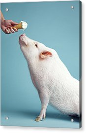 Pickle The Pig IIi Acrylic Print by Eli Warren