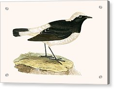 Pied Wheatear Acrylic Print by English School