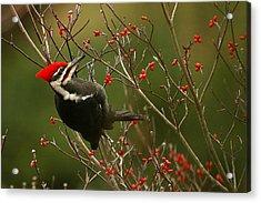 Pileated Woodpecker Acrylic Print by Alan Lenk