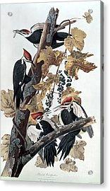 Pileated Woodpeckers Acrylic Print by John James Audubon