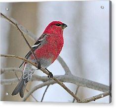 Pine Grosbeak Acrylic Print by Tony Beck