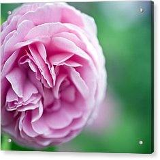 Pink Bourbon Rose Louise Odier Acrylic Print by Frank Tschakert