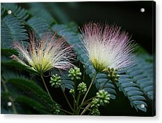 Pink Mimosa  Acrylic Print by Yvonne Wright