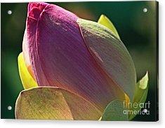 Pink Lotus Bud Acrylic Print by Heiko Koehrer-Wagner