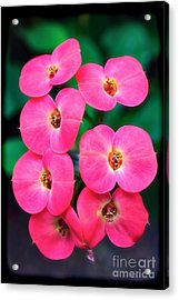 Pink Orchid Crown Of Thorns Acrylic Print by Sue Melvin