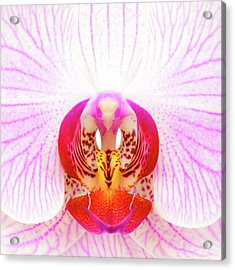 Pink Orchid Acrylic Print by Dave Bowman