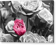 Pink Rose Acrylic Print by Blink Images