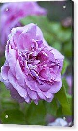 Pink Rose Flower Acrylic Print by Frank Tschakert