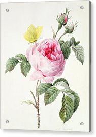Pink Rose With Buds And A Brimstone Butterfly Acrylic Print by Louise DOrleans