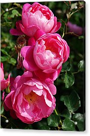 Pink Roses Acrylic Print by Nicola Butt