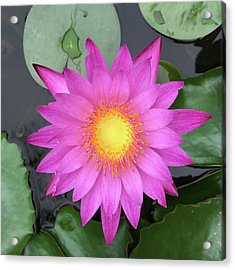 Pink Water Lily Flower Acrylic Print by Tony Grider