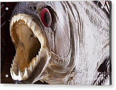 Piranha Fish Close Up Acrylic Print by Simon Bratt Photography LRPS
