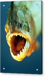 Piranha's Mouth Acrylic Print by David Aubrey