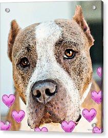 Pit Bull Dog - Pure Love Acrylic Print by Sharon Cummings