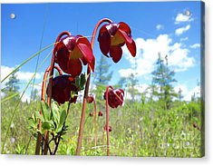 Pitcher Plants Are Blooming Acrylic Print by Sandra Updyke
