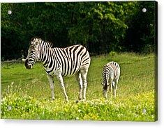 Plains Zebra 1 Acrylic Print by Douglas Barnett