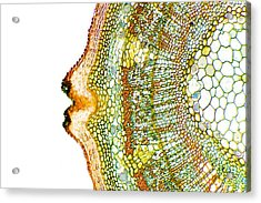 Plant Breathing Pore, Light Micrograph Acrylic Print by Dr Keith Wheeler