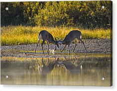 Playful Young Bucks Acrylic Print by Mark Kiver