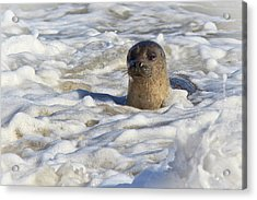 Playing In The Foam Acrylic Print by Carl Jackson