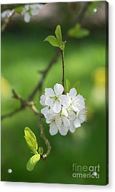 Plum Blossom Acrylic Print by Tim Gainey