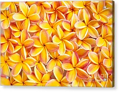 Plumeria Flowers Acrylic Print by Kyle Rothenborg - Printscapes