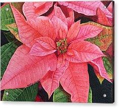 Poinsettia  Acrylic Print by Heather Norseth