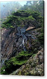 Point Lobos Veteran Cypress Tree Acrylic Print by Charlene Mitchell