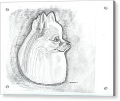 Pomeranian  Acrylic Print by Don  Gallacher
