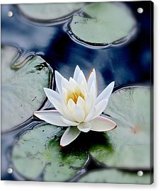 Water Lily Acrylic Print by Debbie Auclair