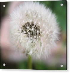 Poof Acrylic Print by Lynnette Johns